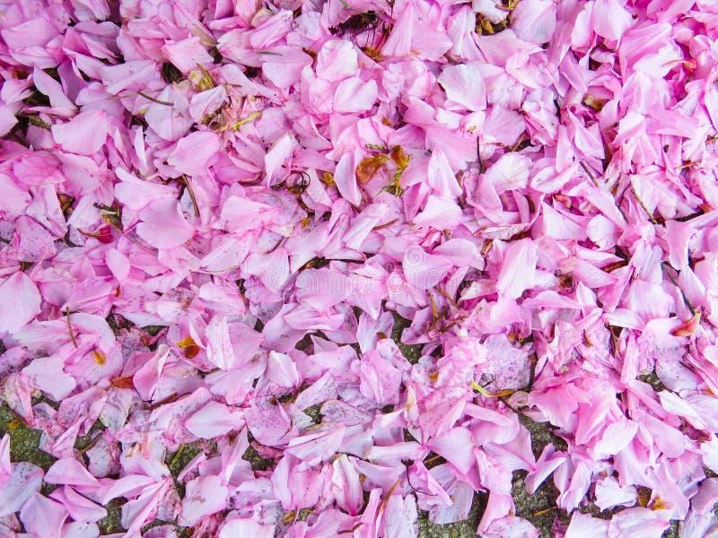 Rosa färgvåren blomstrar kronbladbakgrund arkivfoton