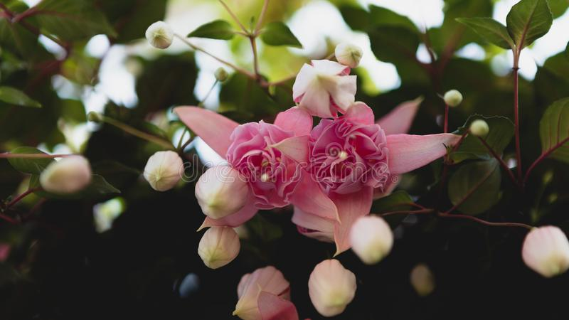 Rosa f?rgblomma royaltyfri foto