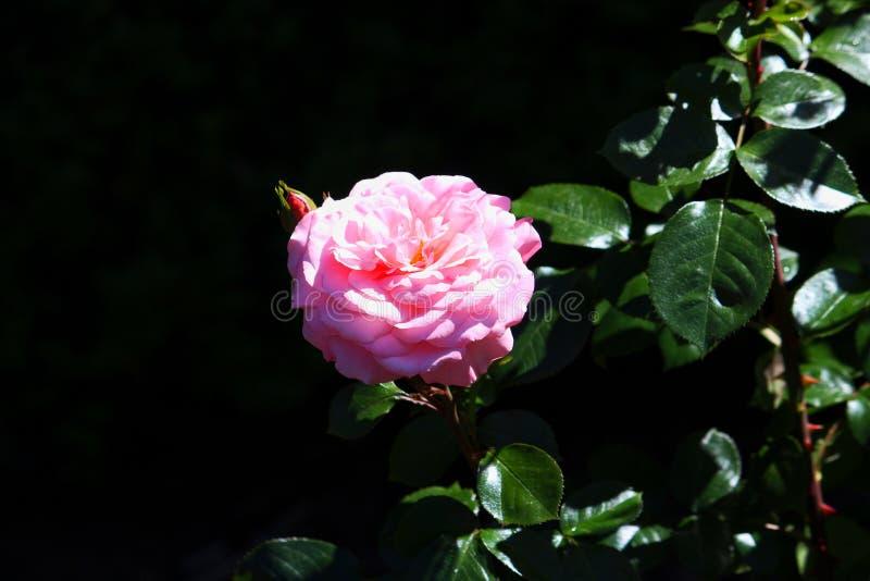 Rosa f?rgblomma arkivbilder