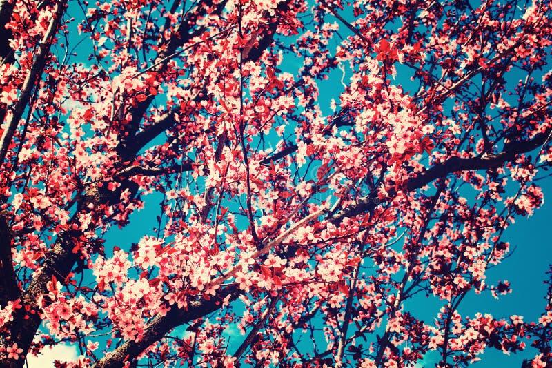Rosa f?rgen blommar det blommande persikatr?det p? v?ren som den bl?a ljusa skyen f?r bakgrund arkivfoton