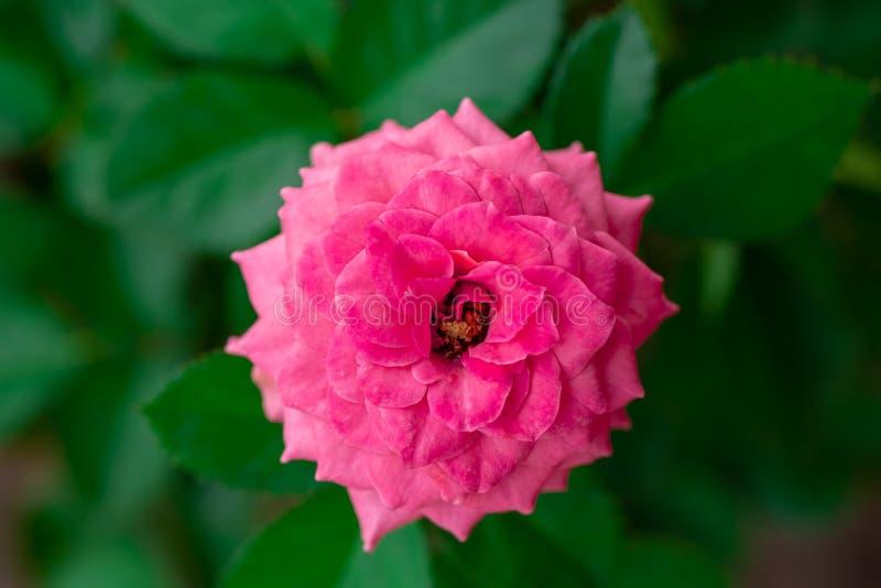Rosa f?rger steg blomman med det gr?na bladet arkivbild
