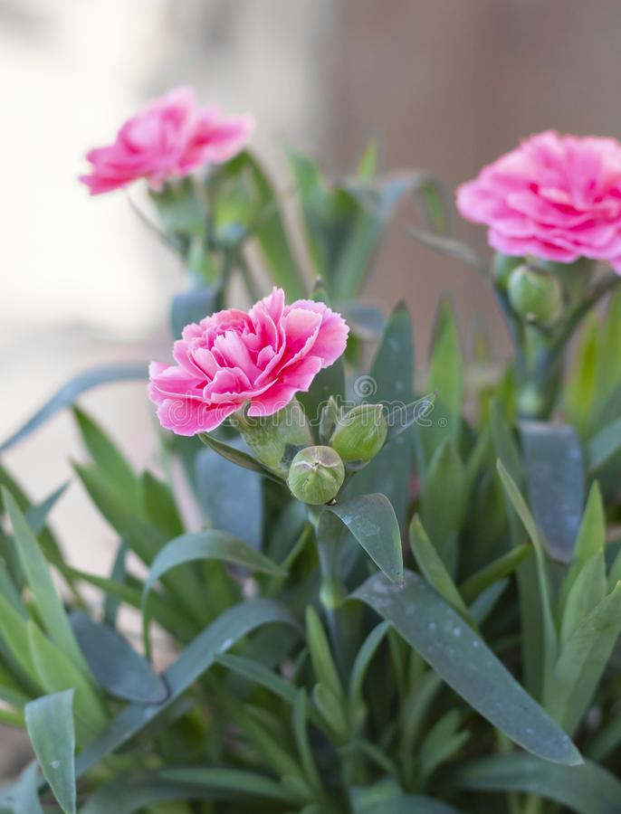 Rosa f?rgkryddnejlikablomma royaltyfri fotografi