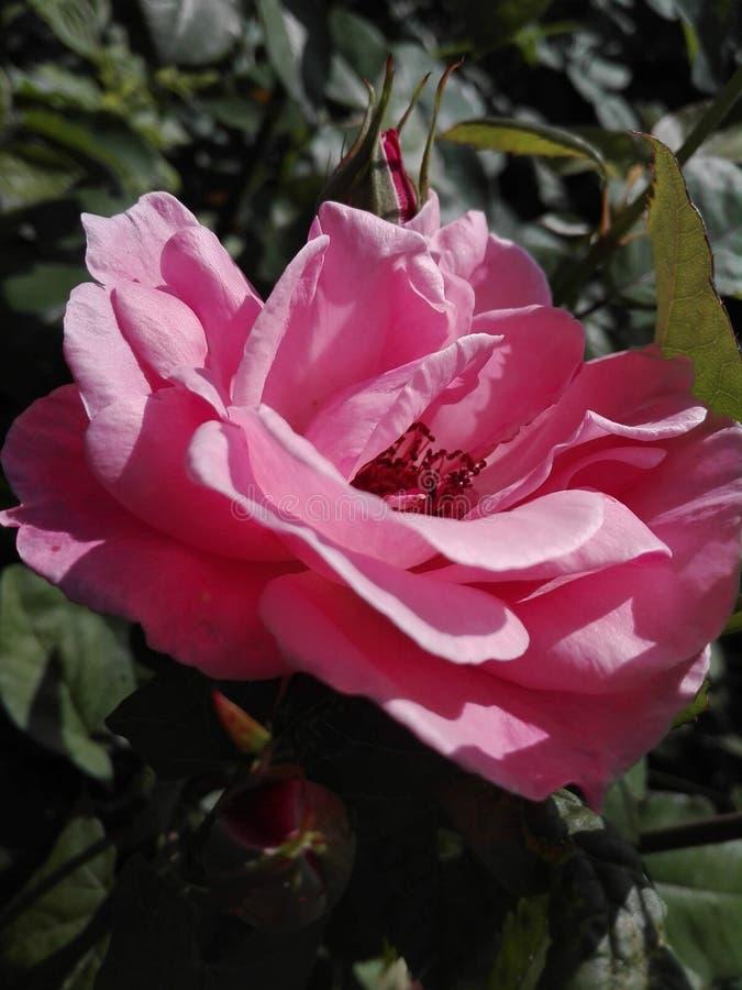 Rosa f?rgros i sommaren fotografering för bildbyråer