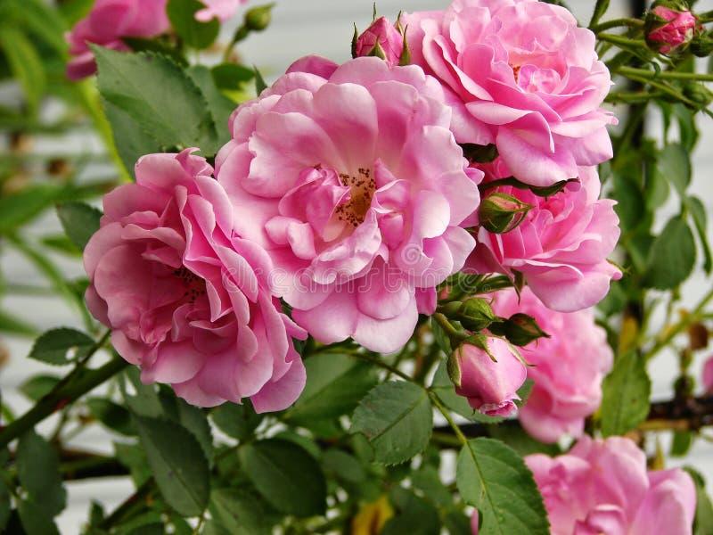 Rosa f?rgrosbuske i tr?dg?rden royaltyfri foto