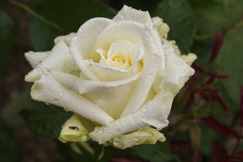 Rosa fantastica di bianco con le gocce di pioggia nel giardino fotografia stock