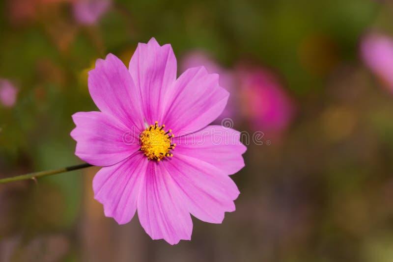 Rosa-farbige mexikanische Aster lizenzfreie stockbilder