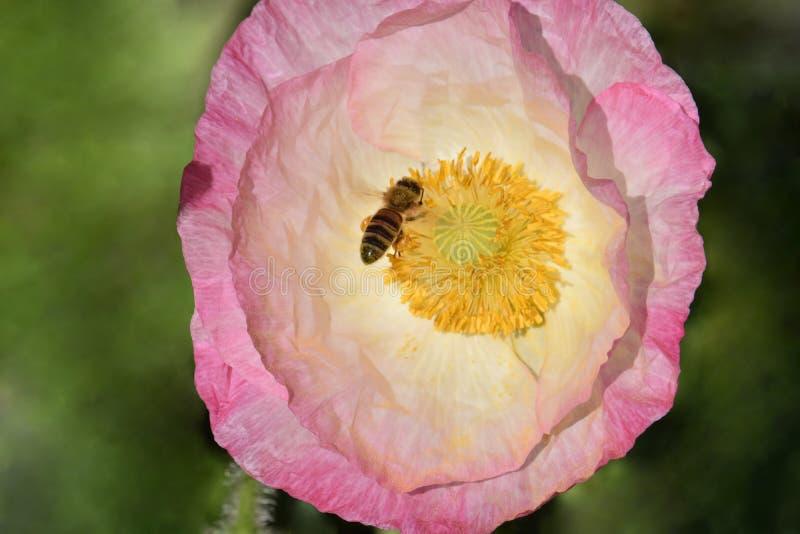 Rosa Fiandre Poppy Flower con l'ape 03 fotografia stock libera da diritti