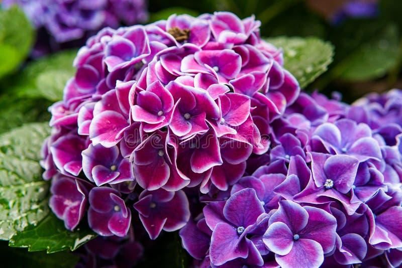 Rosa, fiore blu, lilla, viola, porpora dell'ortensia (macrophylla dell'ortensia) che fioriscono in primavera ed estate in un giar immagini stock libere da diritti