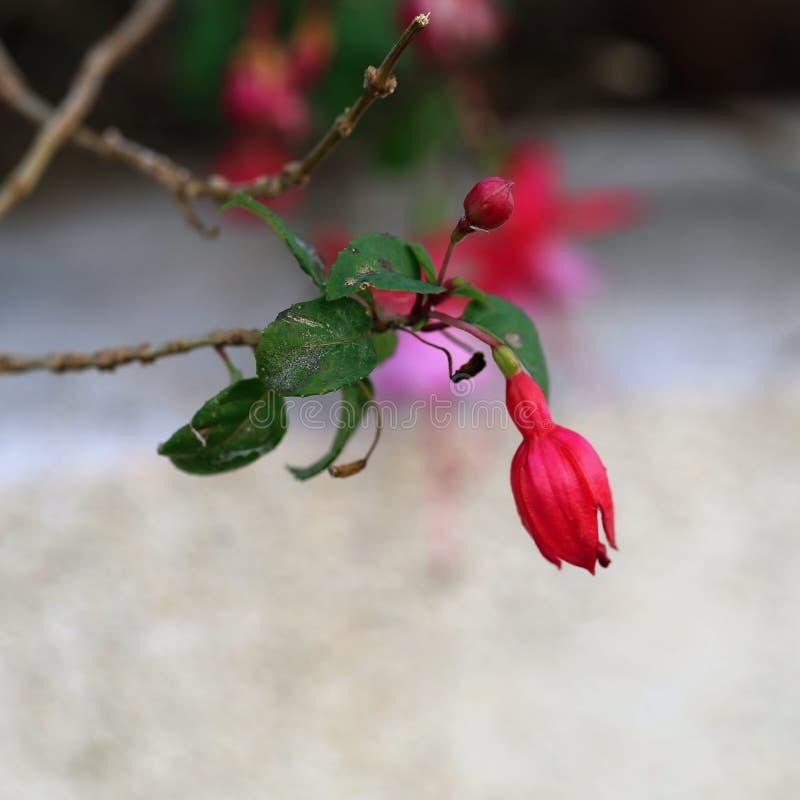 Rosa & fiori fucsia rossi con le foglie verdi in una macro immagine con il fondo di Bokeh immagine stock