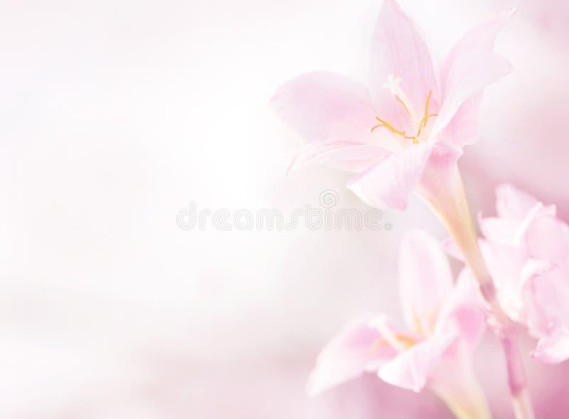 rosa fjäder för blommor royaltyfria bilder