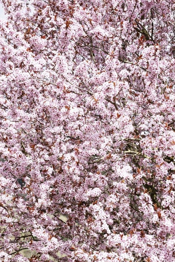 rosa fjäder för blomningar arkivfoto