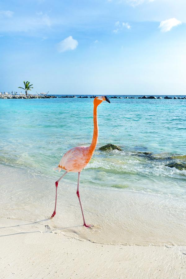 Rosa Flamingo, der auf den Strand, Aruba-Insel geht stockfotografie