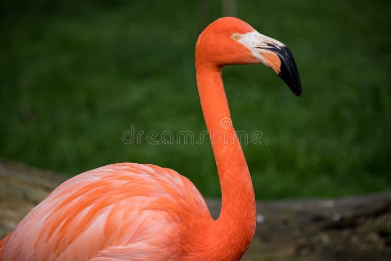 Rosa Flamingo in einem Garten in der Stadt von Madrid, Spanien stockfotos