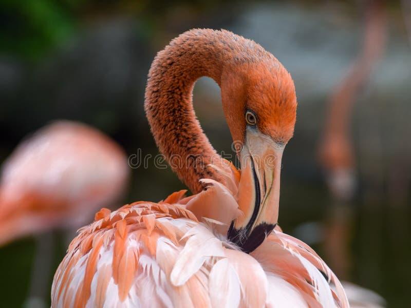 Rosa flamingo i en botanisk trädgård arkivfoto