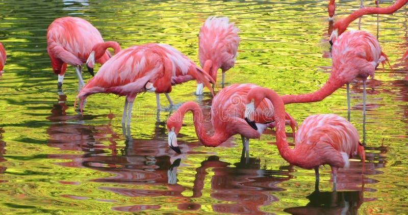 Rosa Flamingo im Sonnenuntergang stockfotografie
