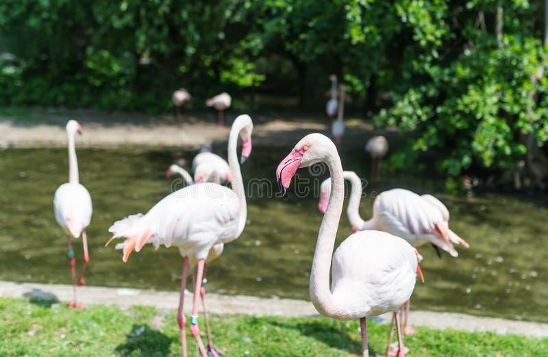 Rosa Flamingo Menge von Flamingos im Zoo parken Frühlingszeit und -blüte stockfotografie