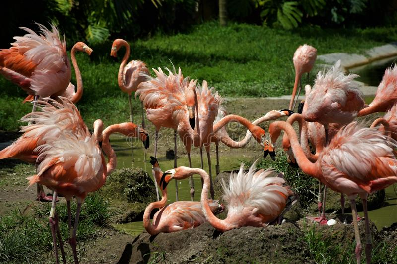 Rosa flamingo på den Miami zoo Florida arkivbilder