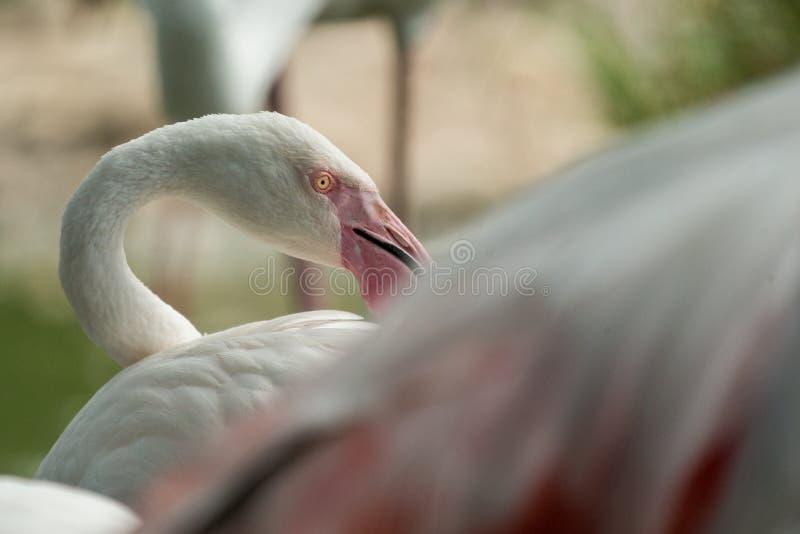 Rosa flamingo på zoo, solo flamingophoenicopterus som ansar dess fjädrar, härlig vit rosaaktig fågel nära dammet arkivfoton