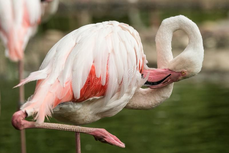 Rosa flamingo på zoo, solo flamingophoenicopterus som ansar dess fjädrar, härlig vit rosaaktig fågel nära dammet royaltyfri foto