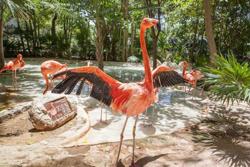 Rosa Flamingo in Xcaret-Park lizenzfreie stockfotos
