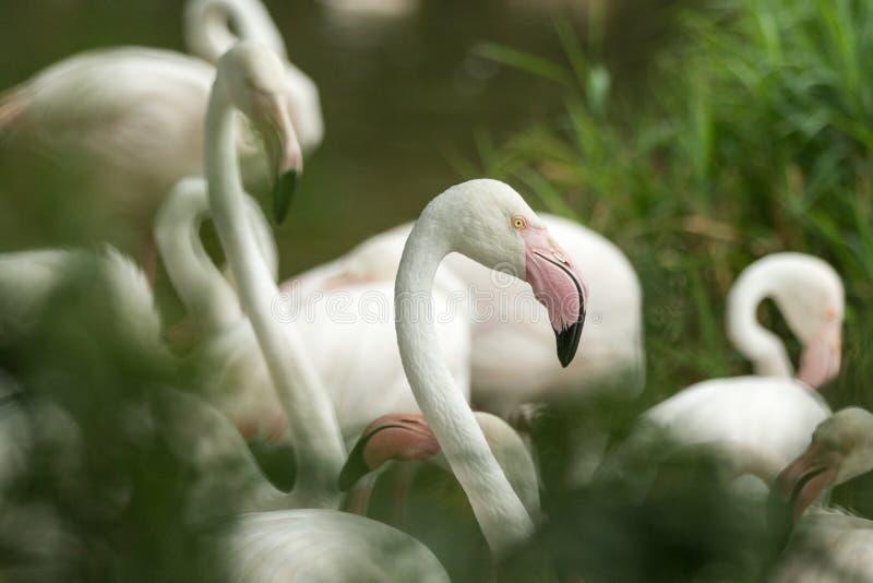 Rosa Flamingo am Zoo, Solo- Flamingoporträt phoenicopterus, schöner weißer rötlicher Vogel nahe Teich stockfotografie