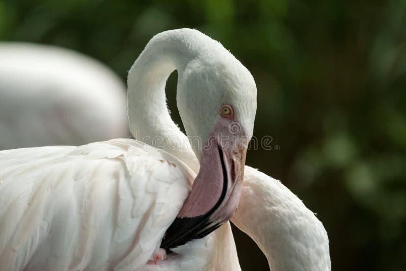 Rosa Flamingo am Zoo, Solo- Flamingo phoenicopterus seine Federn, schönen weißen rötlichen Vogel pflegend nahe Teich lizenzfreies stockfoto