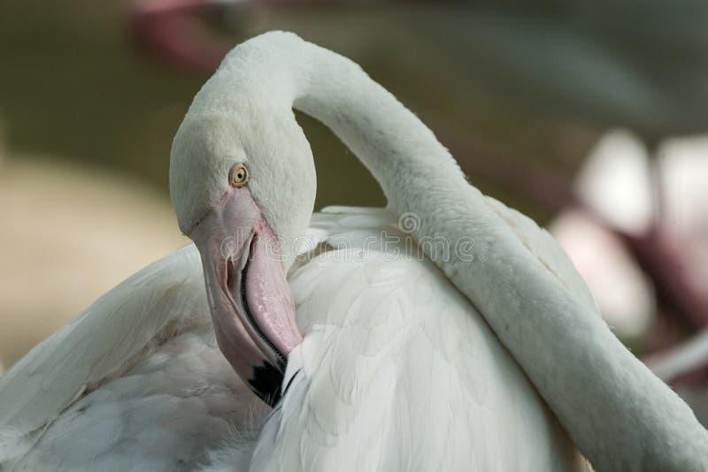 Rosa Flamingo am Zoo, Solo- Flamingo phoenicopterus seine Federn, schönen weißen rötlichen Vogel pflegend nahe Teich stockfoto