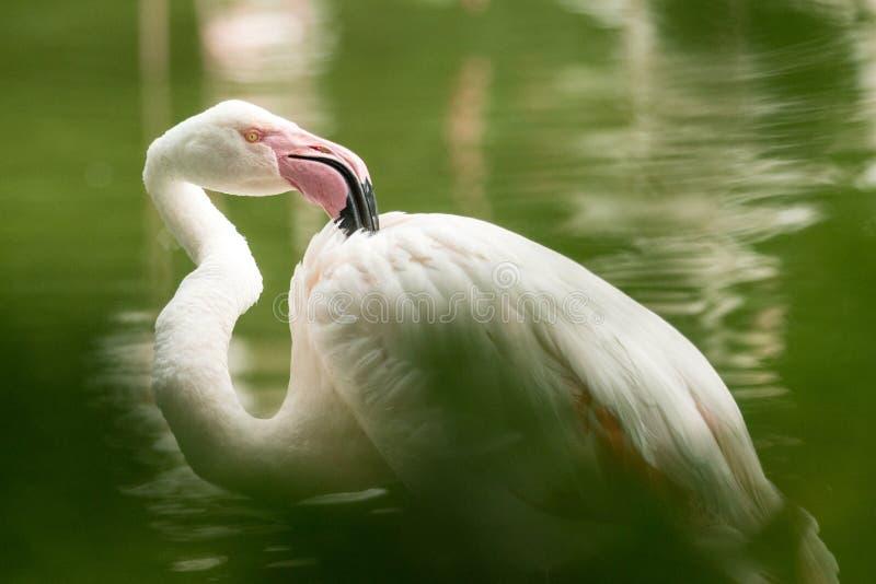 Rosa Flamingo am Zoo, Solo- Flamingo phoenicopterus seine Federn, schönen weißen rötlichen Vogel pflegend nahe Teich stockfotos