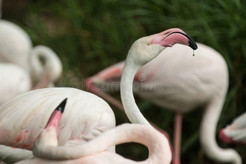 Rosa Flamingo am Zoo, Solo- Flamingo phoenicopterus seine Federn, schönen weißen rötlichen Vogel pflegend nahe Teich lizenzfreie stockfotos