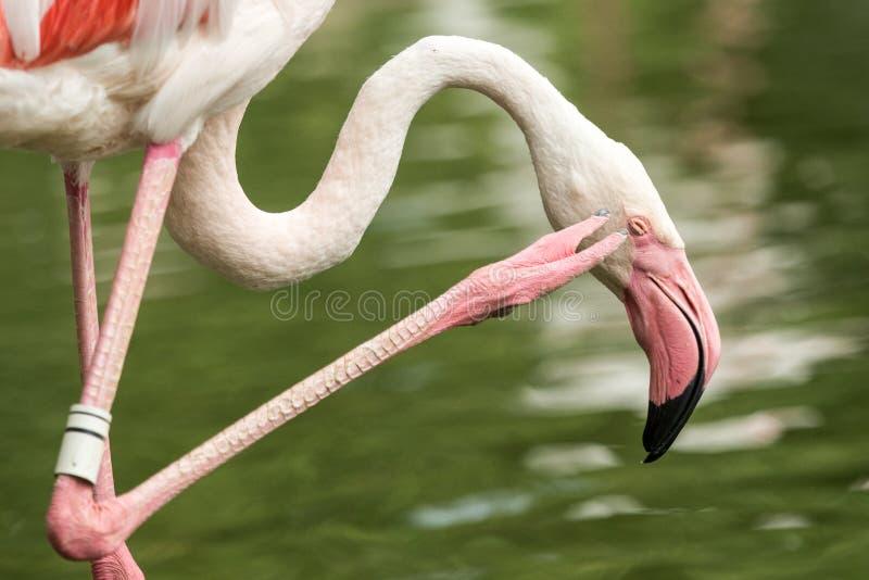 Rosa Flamingo am Zoo, Solo- Flamingo phoenicopterus seine Federn, schönen weißen rötlichen Vogel pflegend nahe Teich stockbilder