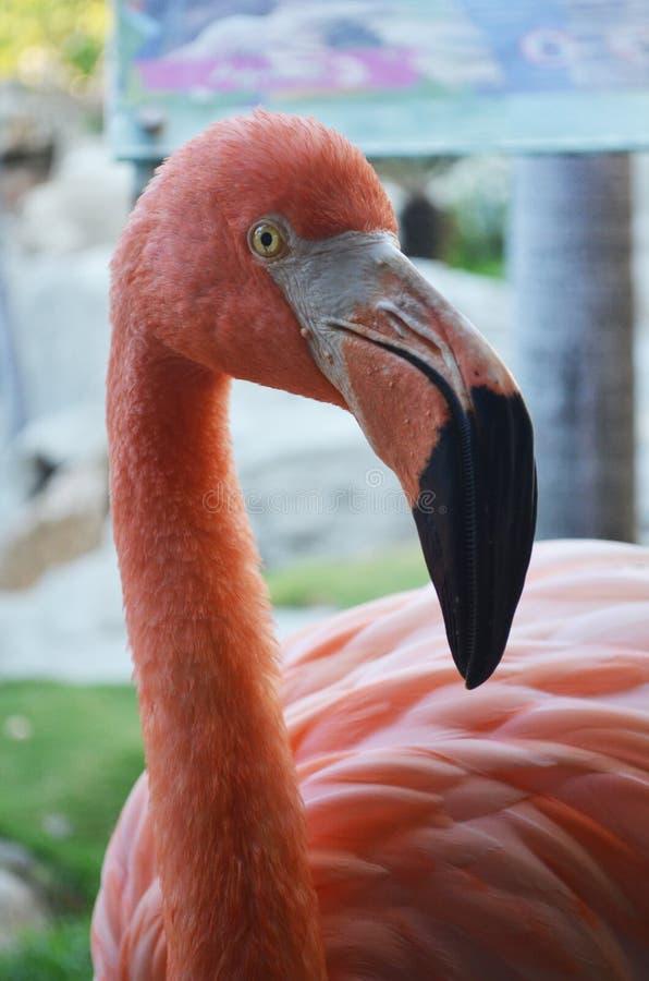 Rosa flamingofågel arkivfoton