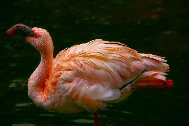 Rosa flamingofågeldricksvatten i trädgårddammet arkivbild