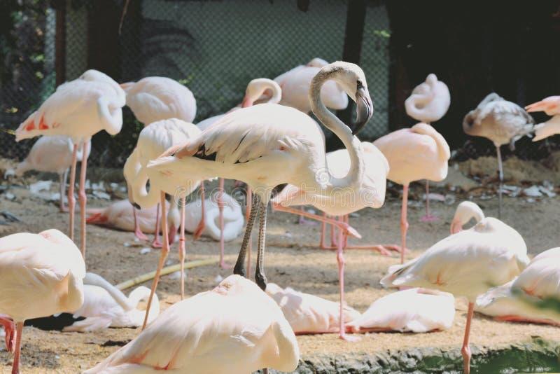 Rosa flamingofåglar fotografering för bildbyråer