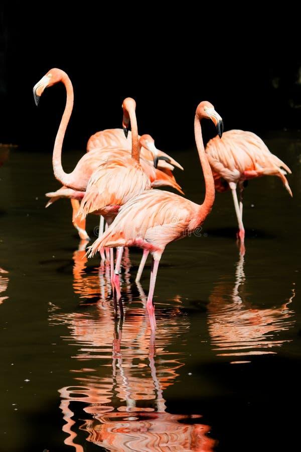 Rosa flamingofåglar i vatten arkivfoto