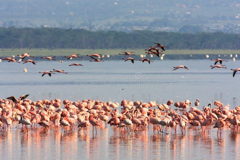Rosa flamingoflock i Nakuru sjön kenya royaltyfri fotografi