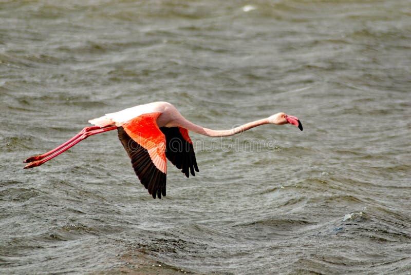 Rosa flamingolat Phoenicopterus flyger över vattnet Sk?nhet, n?d, en special berlock och unikhet av flamingo fotografering för bildbyråer