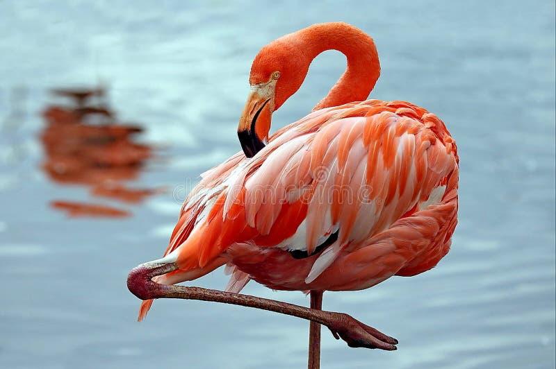 Rosa flamingolat Phoenicopterus flyger ?ver vattnet Sk?nhet, n?d, en special berlock och unikhet av flamingo royaltyfri foto