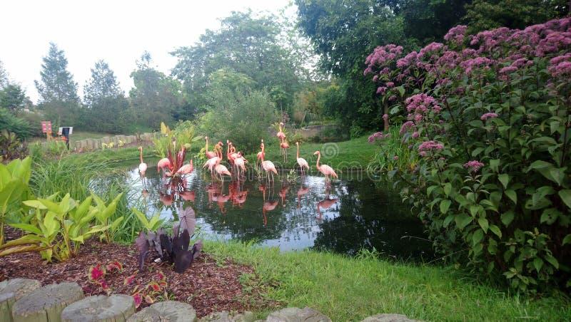Rosa Flamingos arkivfoton