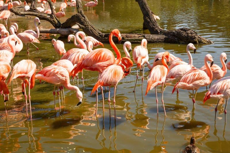 Rosa Flamingos arkivbilder