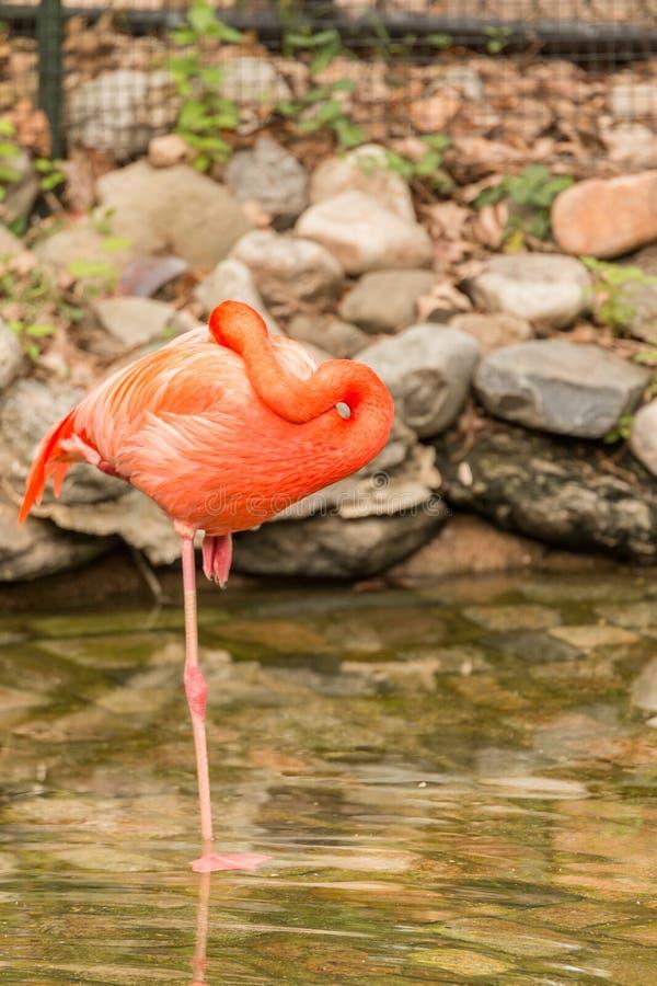 Rosa Flamingos lizenzfreie stockfotografie