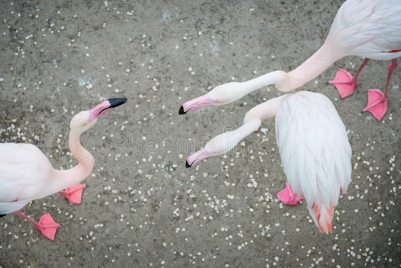 Rosa Flamingos im wilden Datierungsspielflamingo stockfotos
