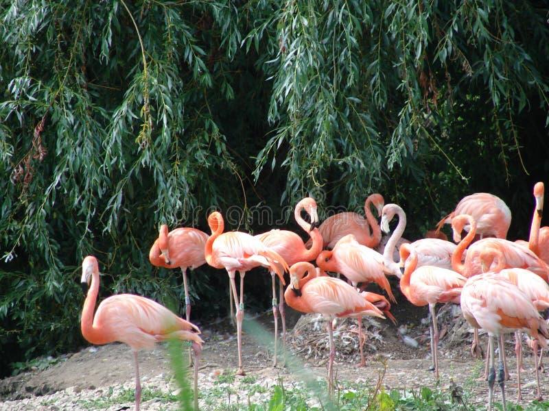 Rosa Flamingovögel Stockbild