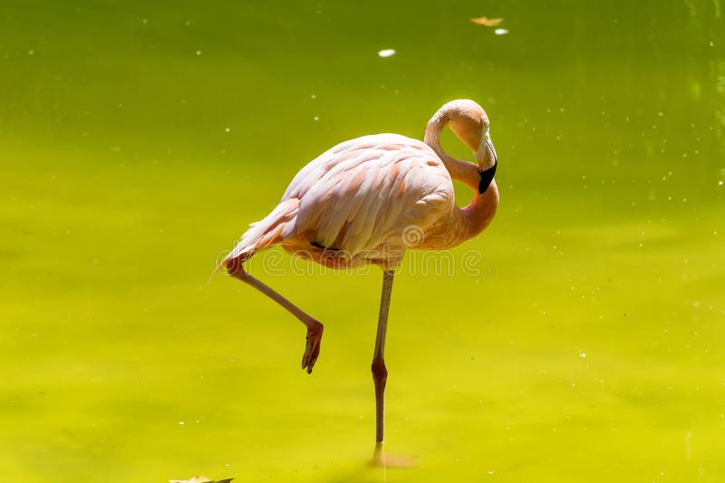 Rosa Flamingovogel stockbild