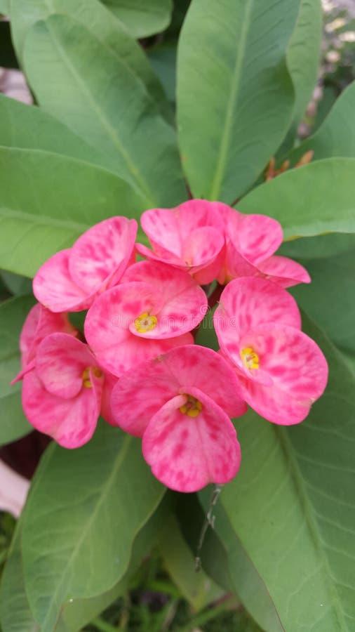 Rosa, flor, natural, flor foto de archivo libre de regalías