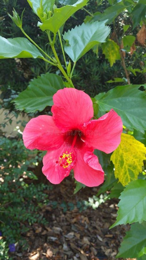 Rosa Flora stockfotos