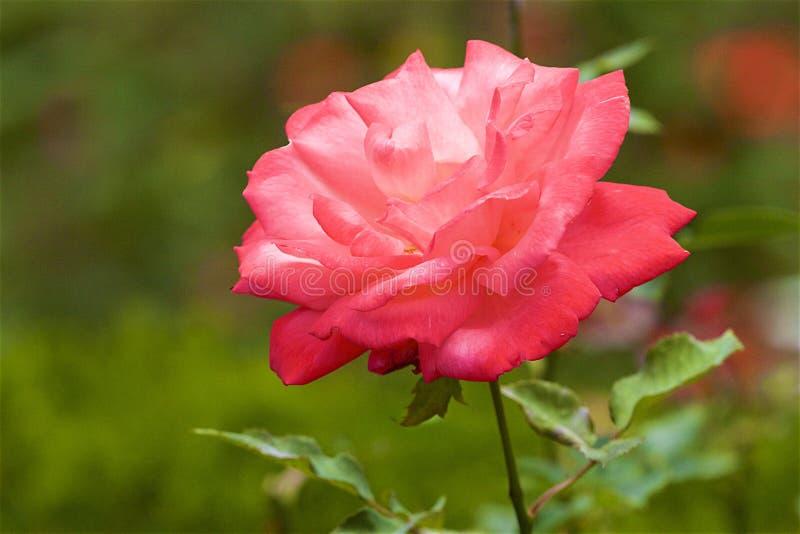 Rosa - flora de Madeira, Portugal fotos de stock