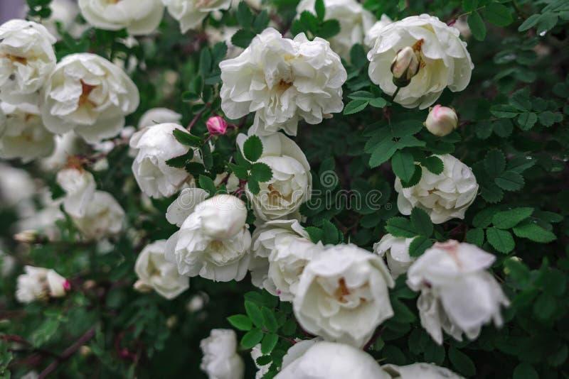 Rosa, floral, plantas, arbusto, verdes, flores imagem de stock royalty free