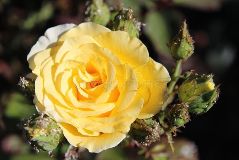 Rosa floreciente del amarillo fotos de archivo