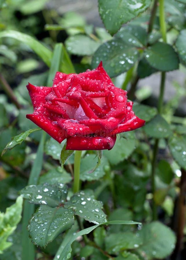 Rosa floreciente del escarlata con las gotas de agua en sus pétalos imagen de archivo libre de regalías
