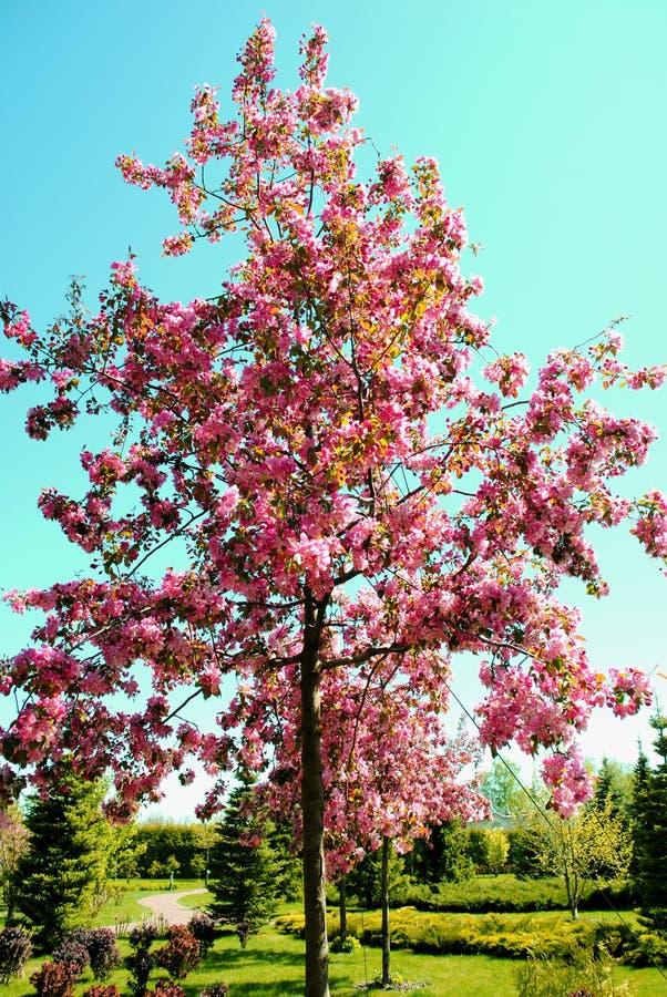 Rosa floreciente Sakura Tree en el parque fotografía de archivo libre de regalías